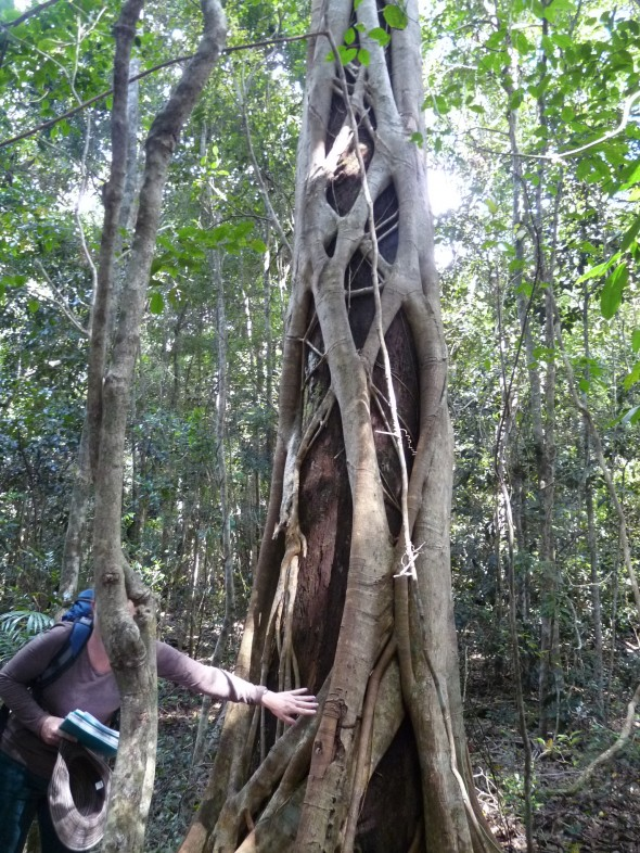 The complicated relationship of the trees... the epiphites entangling and feeding on the tree... the tree will eventually hollow out.  This is a key feature of the rainforest